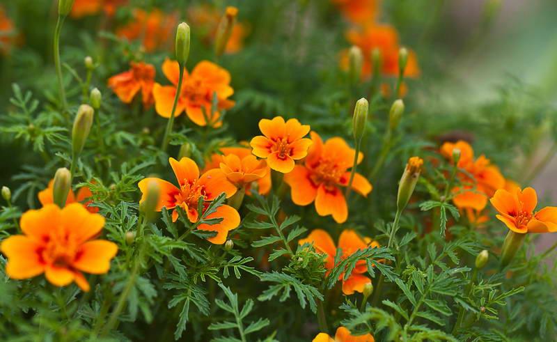 Сорта цветов для дачи с и описанием для