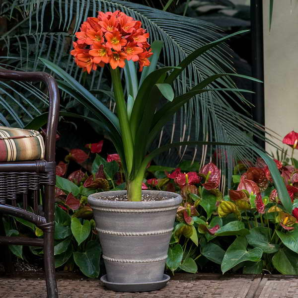Выращивание кливии в домашних условиях 182