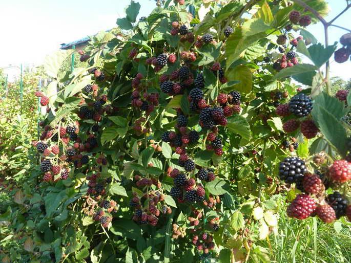 Выращивание ежевики на украине 88