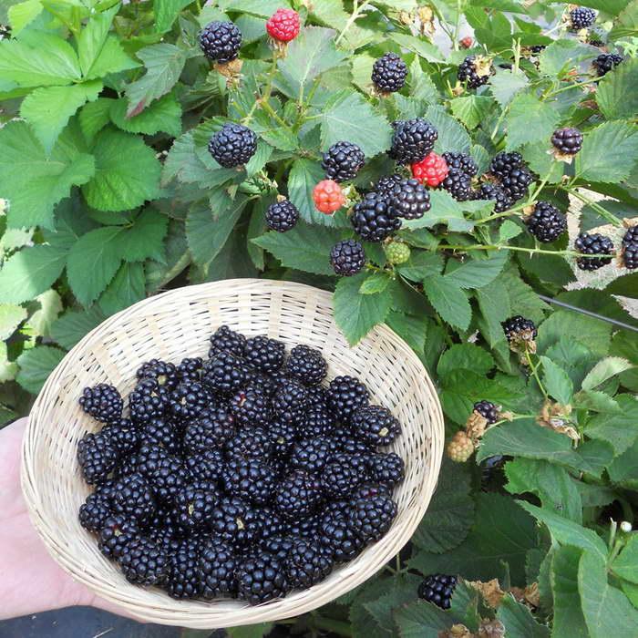 Выращивание ежевики на украине 37