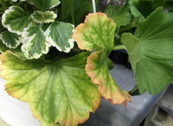 Почему сохнут листья у пеларгонии
