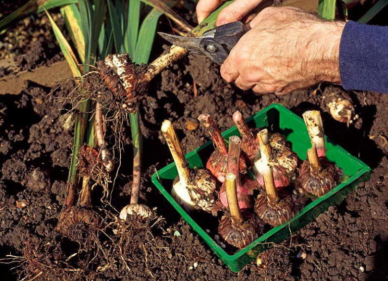 Гладиолусы выращивание хранение луковиц 12