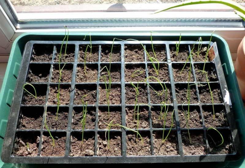 Выращивание лука-порея через рассаду 10