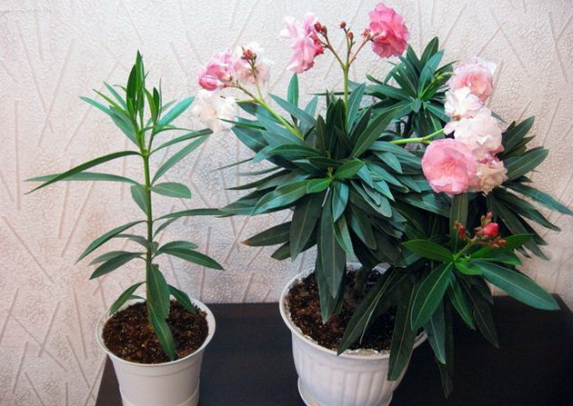 Олеандр выращивание и уход в домашних условиях  494