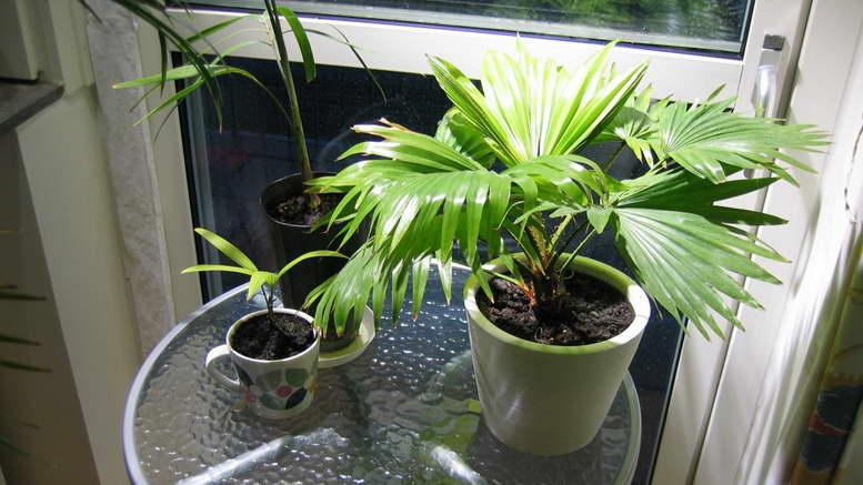 Пальмы выращивание из семян 91