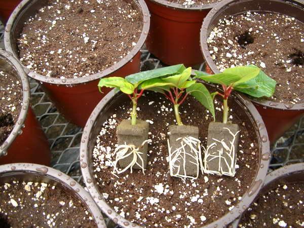 Пуансеттия выращивание из черенка 40