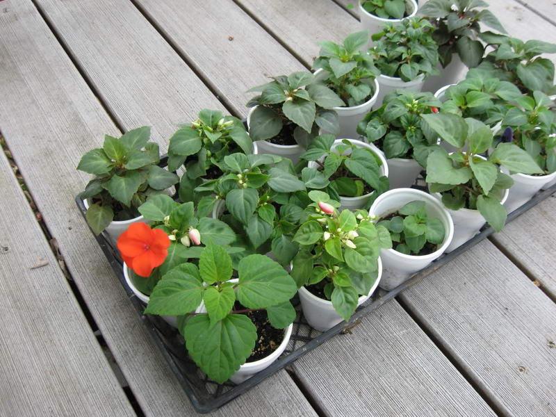 Сколько семечек бальзамина посадить на рассаду в один горшочек 99