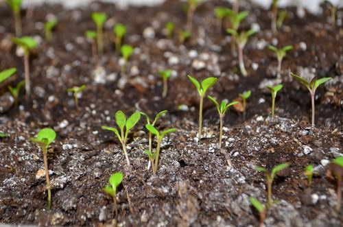 Выращивание цинерарии серебристой из семян 86