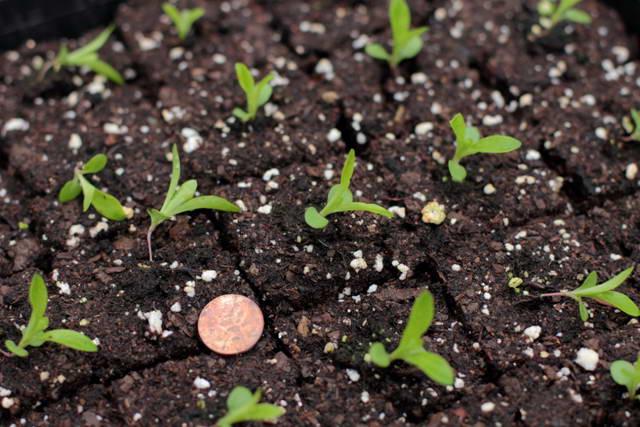 Сажать гвоздику семенами осенью 20