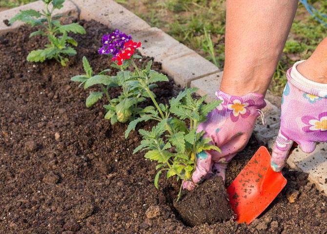 Цветы которые сажают в открытый грунт семенами