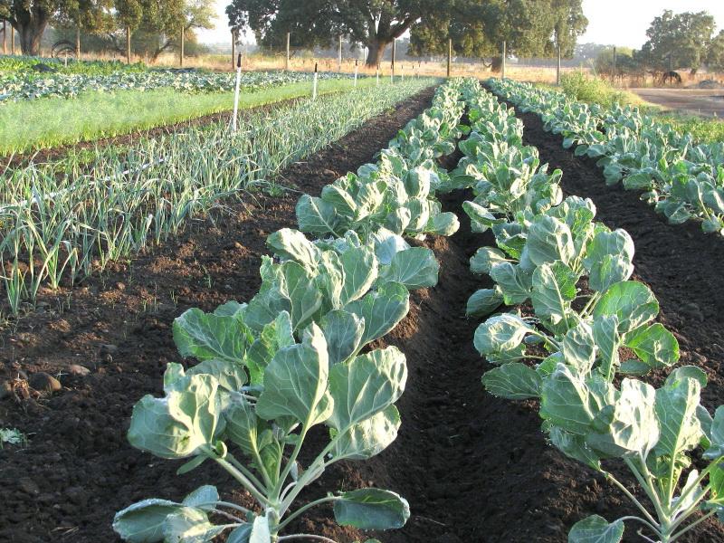 Агротехника выращивания белокочанной капусты 37