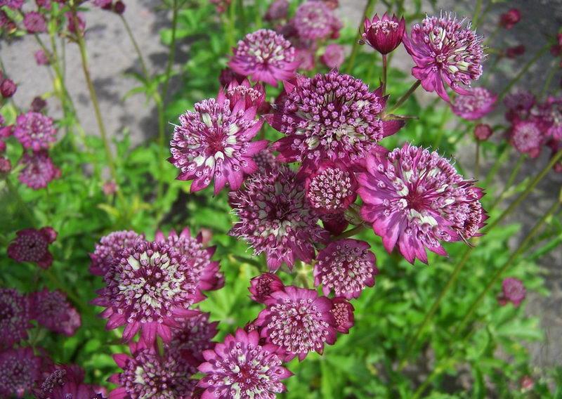 Астранция цветок выращивание 39