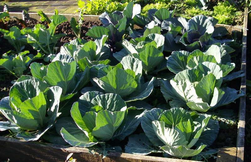Фото выращивание капусты 69