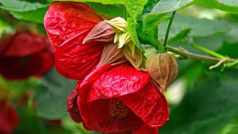 Абутилон гибридный Abutilon hybrid 'Ashford Red' фото