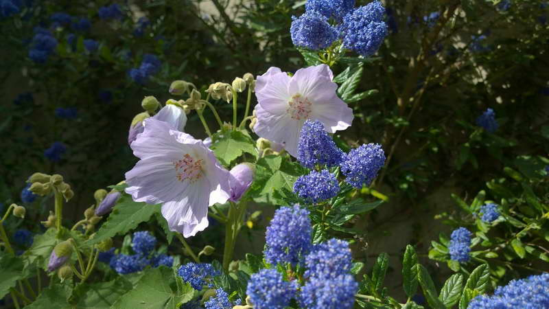 Абутилон виноградолистный Abutilon vitifolium 'Veronica Tennant' фото