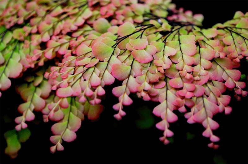 Адиантум нежный Adiantum tenerum Sexy Pink