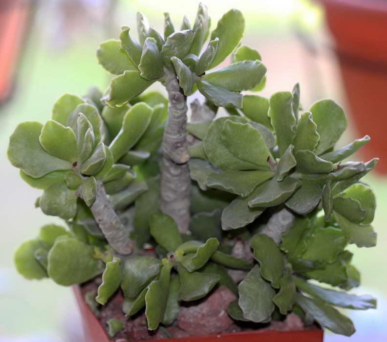 Адромискус Зейера Adromischus cristatus var. zeyheri фото