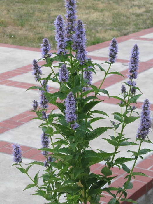 Агастахе сорт Agastache - Blue Fortune фото