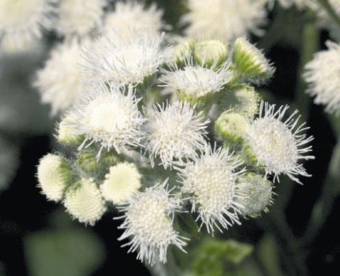 Агератум фото Выращивание из семян Когда сажать на рассаду Правильный уход
