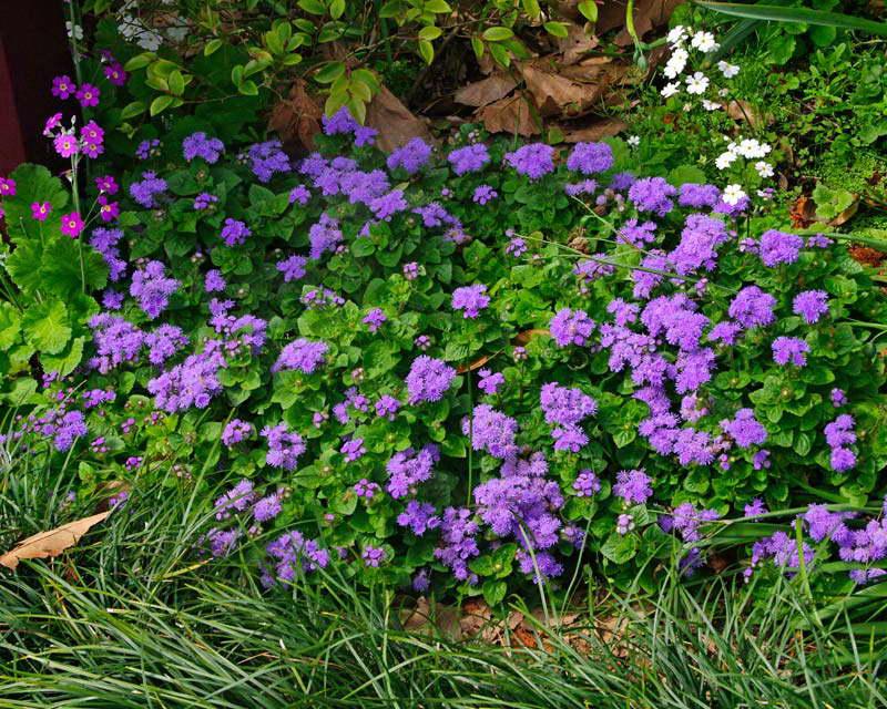 Агератум в саду фото