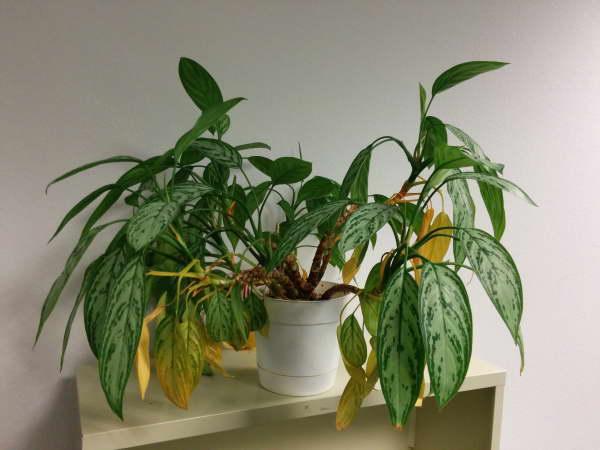 Аглаонема желтеют листья что делать фото