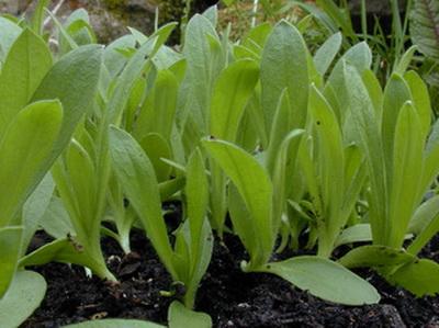 агростемма выращивание из семян в домашних условиях