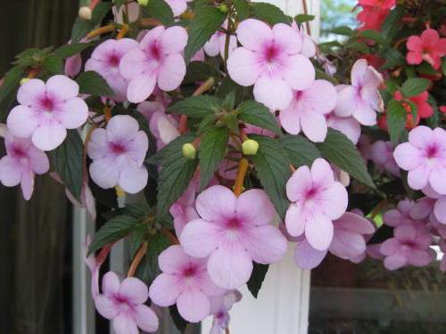 Ахименес Peach Blossom фото