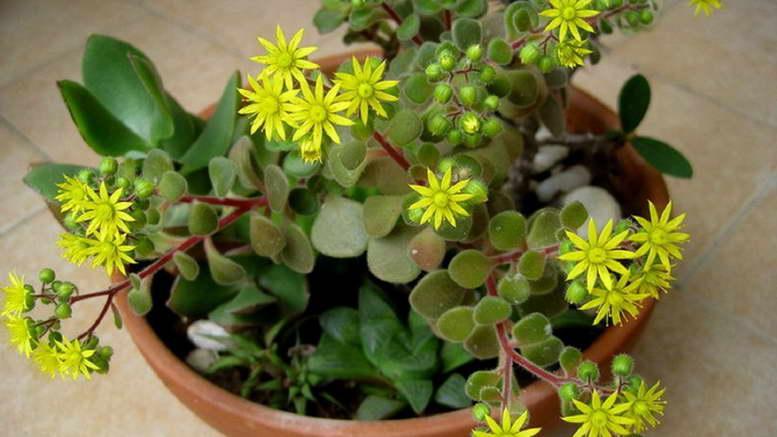 Аихризон комнатный цветок как ухаживать и размножать