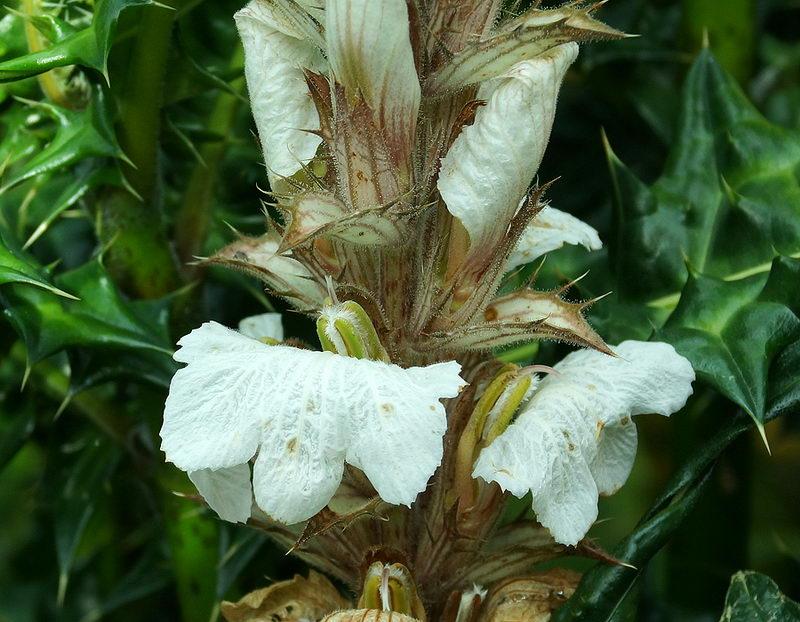 Акант горный Acanthus montanus