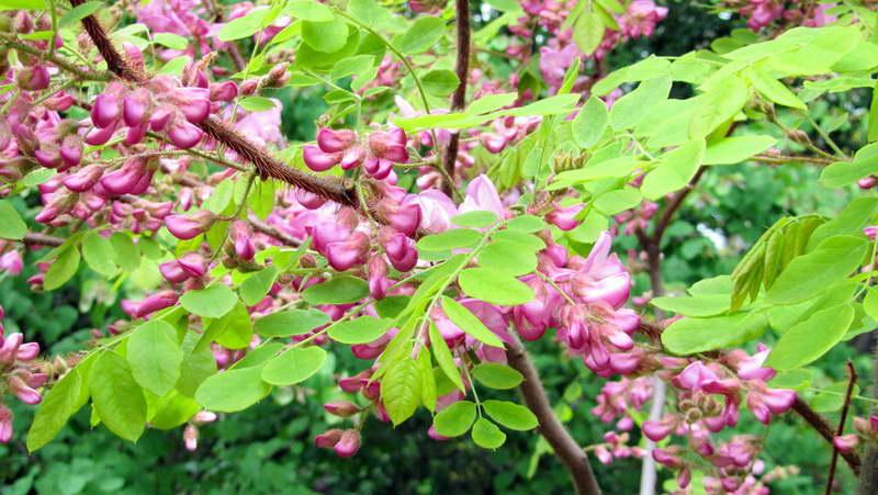 Акация робиния розовая Robinia hispida фото