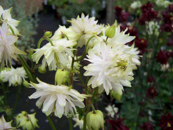Аквилегия вайт барлоу Aquilegia vulgaris White Barlow