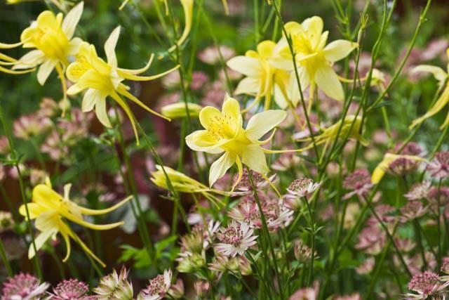 Аквилегия золотистоцветковая Aquilegia chrysantha
