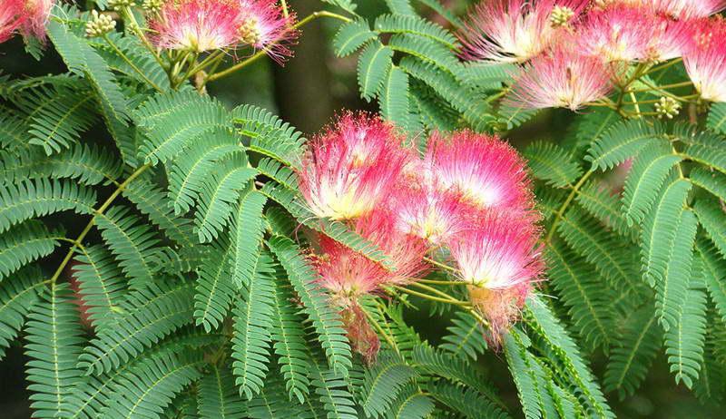 Альбиция шелковая или ленкоранская Albizia julibrissin фото