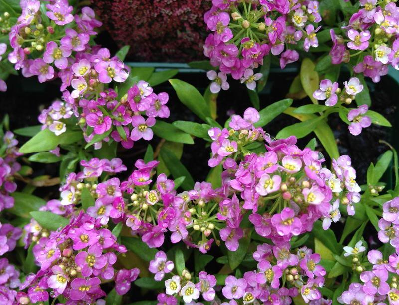 Алиссум фото цветов