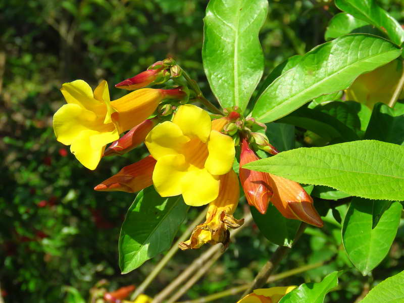 Алламанда оленадролистная Allamanda neriifolia фото