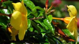 Алламанда слабительная комнатные растения как ухаживать