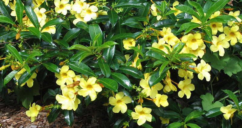 Алламанда желтая фото цветов