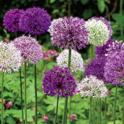 Аллиум цветок фото