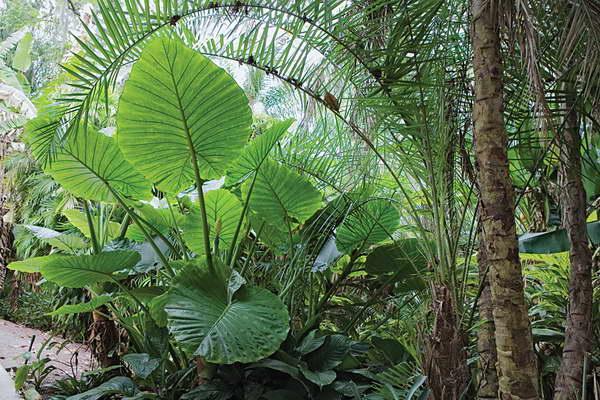 Алоказия Калидора Alocasia calidora фото