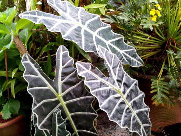 Алоказия Сандера Alocasia sanderiana алоказия растение комнатное