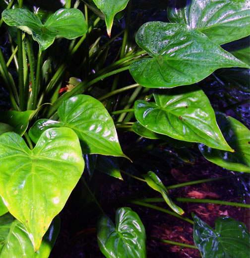 Алоказия клобучковая Alocasia cucullata посадка и уход в домашних условиях фото