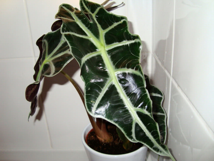 Цветок Алоказия описание видов с фото, уход в домашних