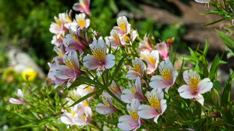 Альстромерия в открытом грунте выращивание и уход