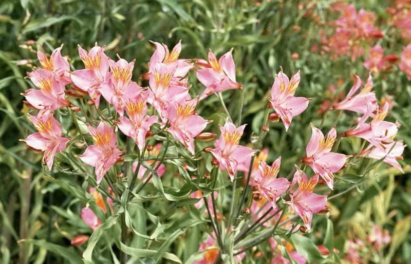 Альстромерия в саду фото