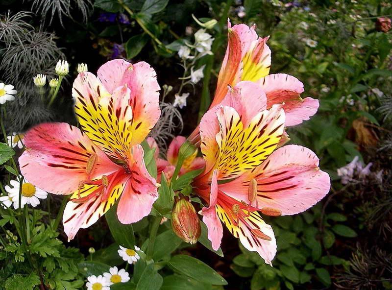 Альстромерия в саду с другими цветами фото