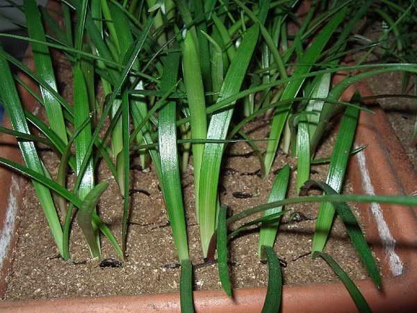 Амариллис из семян фото рассады