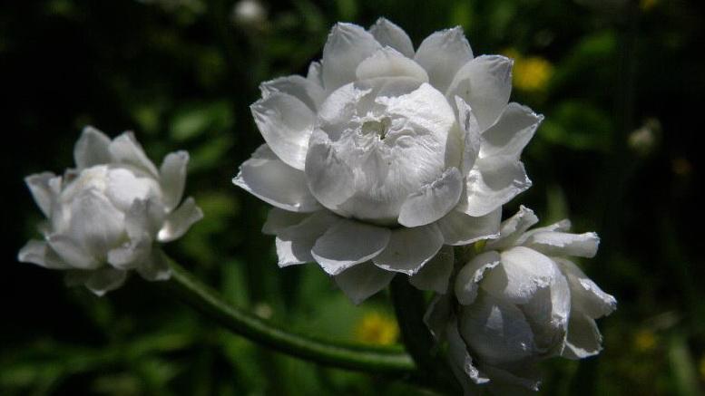 Аммобиум крылатый Ammobium alatum