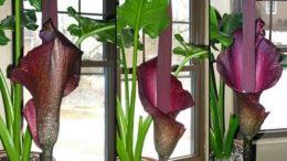 Аморфофаллус фото уход в домашних условиях и размножение