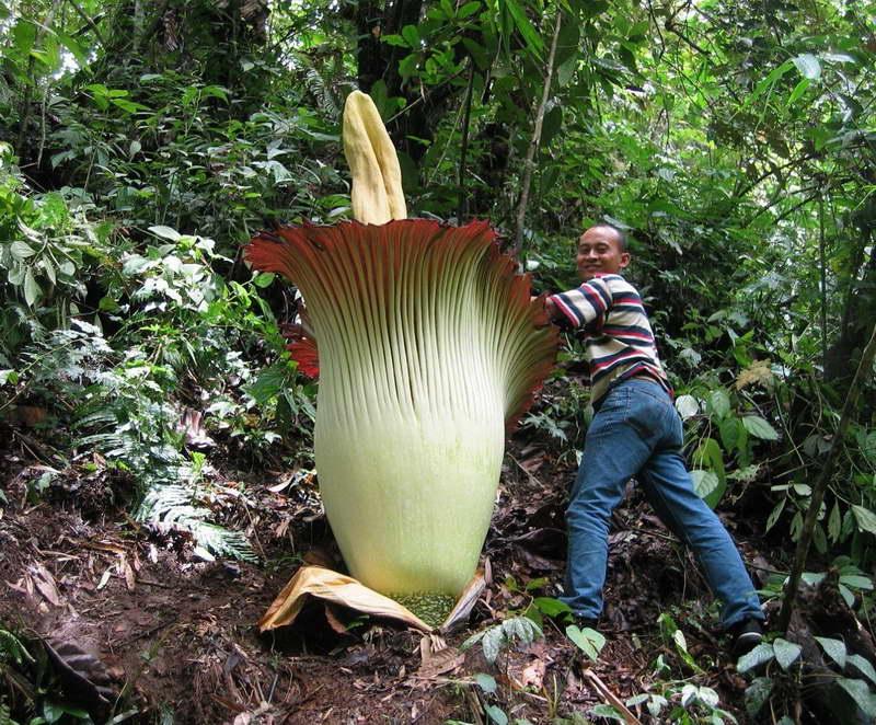 Аморфофаллус гигантский в природе фото