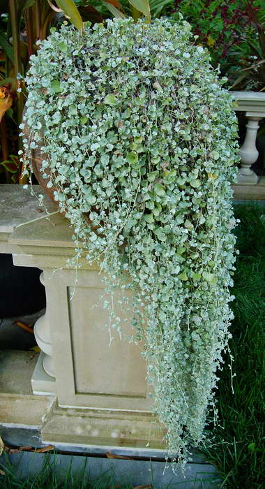 Ампельная дихондра серебристый водопад выращивание из семян фото